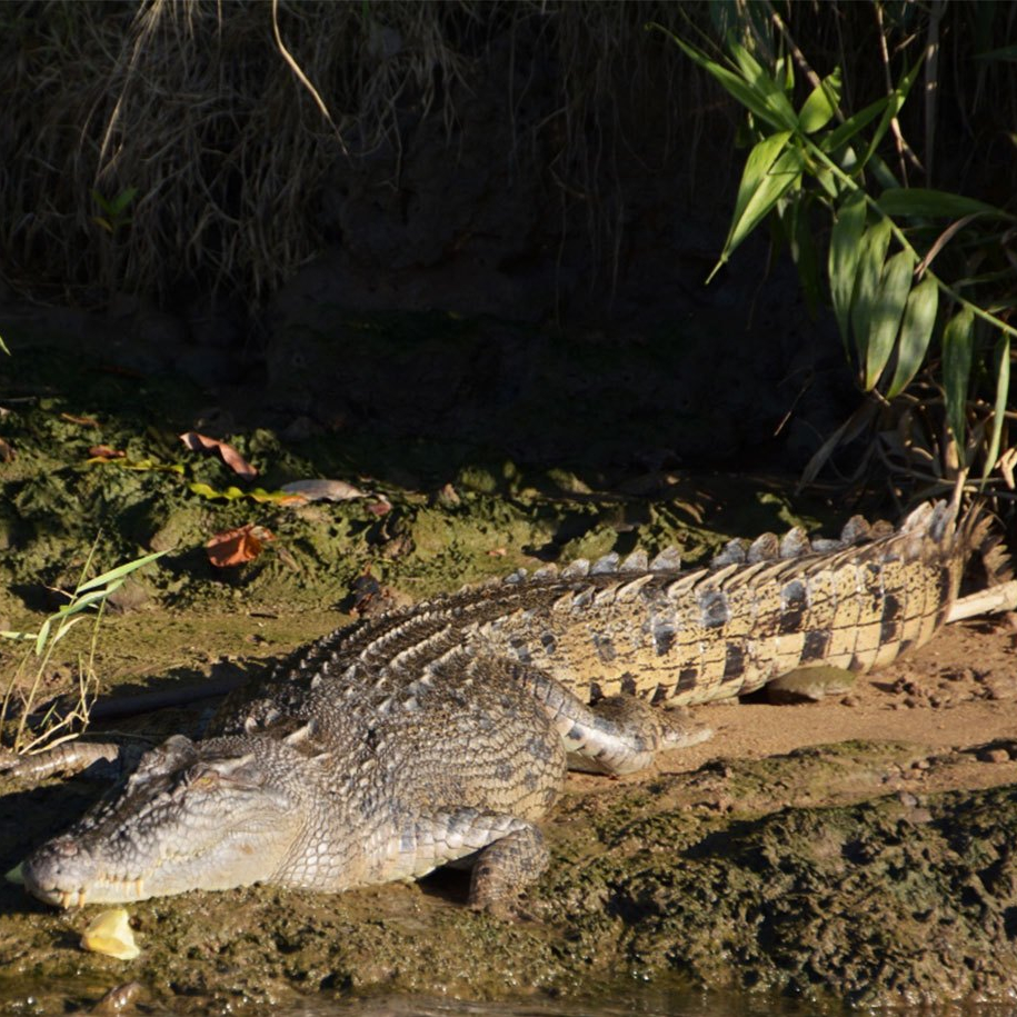 estuarine crocodile seen on crocodile spotting tour on the johnstone river with wooroonooran safaris