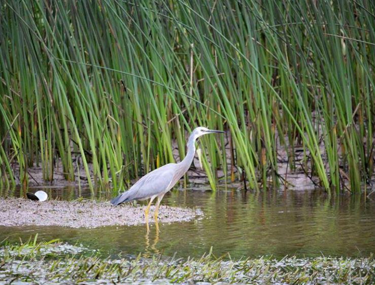 egret at eubenangee swamp