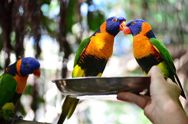 lunch with the lorikeets wildlife habitat port douglas
