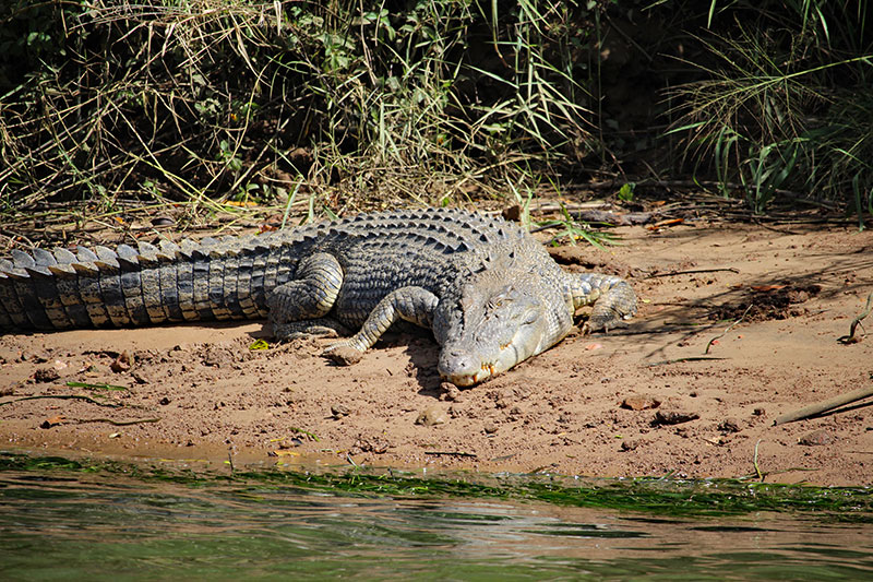 crocodile spotting tour cairns wooroonooran safaris snapping tours