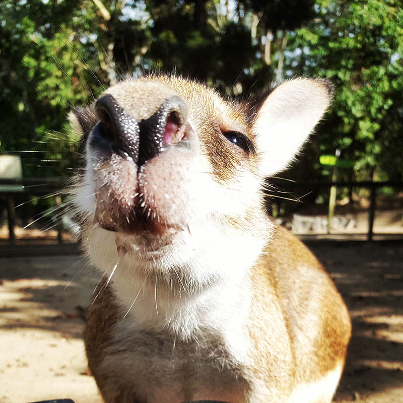 where to see wallabies in cairns wildlife habitat port douglas