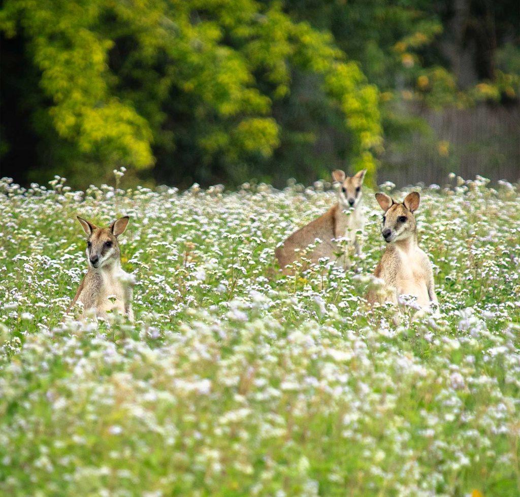 wooroonooran safaris wild wallabies in cairms
