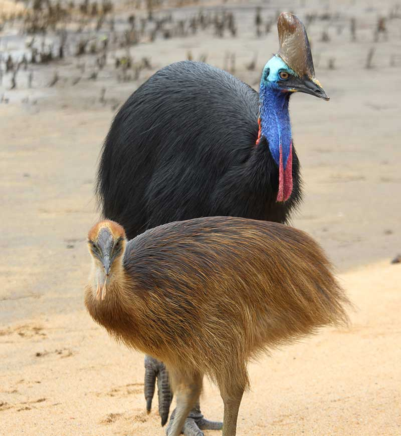 cassowary and chick on snapping tours crocodile cruise innisfail