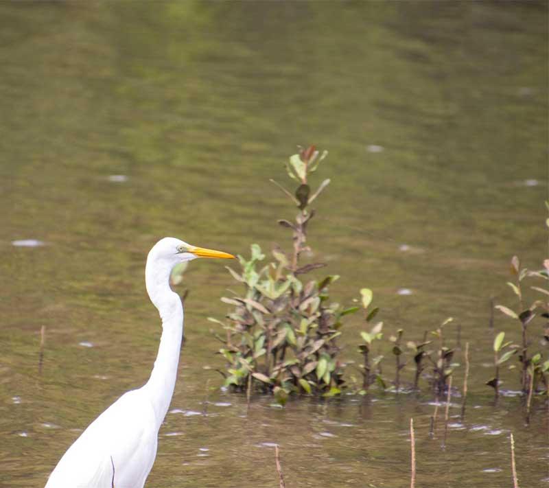 egret on snapping tours on wooronooran safaris